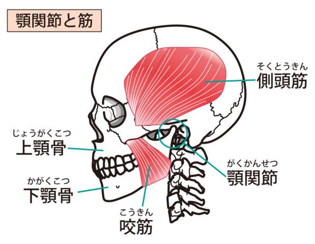 顎関節 解剖